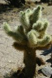 Um bebê Joshua Tree do banho de sol Foto de Stock Royalty Free