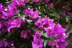 Um beegevilia de florescência violeta em um dia de verão no tempo quente fotos de stock royalty free