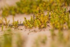 Um beira-mar pequeno, brilhante planta o crescimento na areia Cenário da praia com flora local fotografia de stock