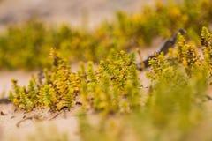 Um beira-mar pequeno, brilhante planta o crescimento na areia Cenário da praia com flora local imagens de stock royalty free