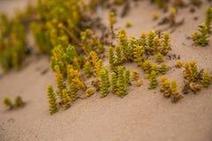 Um beira-mar pequeno, brilhante planta o crescimento na areia Cenário da praia com flora local fotografia de stock royalty free