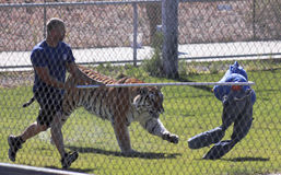 Um Bengal Tiger Performs com seu instrutor Imagens de Stock