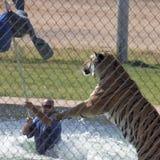 Um Bengal Tiger Performs com seu instrutor Fotos de Stock Royalty Free