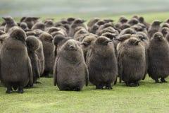 Um berçário do rei Penguin Chicks, huddled na chuva em Voluntee Imagem de Stock Royalty Free