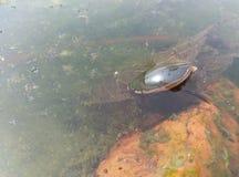 Um besouro do mergulho fotografia de stock