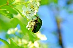Um besouro em uma flor foto de stock