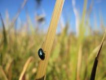 Um besouro em uma folha da grama foto de stock