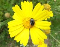 Um besouro preto em uma flor selvagem de florescência do amarelo brilhante Foto de Stock Royalty Free
