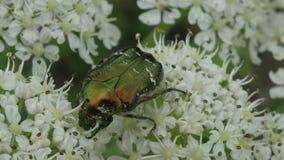 Um besouro verde rasteja em uma planta de florescência branca fotos de stock royalty free