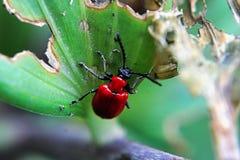 Um besouro vermelho do lírio em uma folha foto de stock