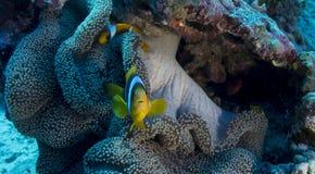 Um bicinctus do Amphiprion em um mertensi de Stichodactyla Foto de Stock Royalty Free