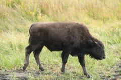 Um bisonte novo no parque de Yellowstone Imagem de Stock Royalty Free
