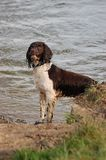 Um bit de um cão molhado Imagem de Stock Royalty Free
