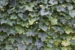 Um blackgroud das folhas Fotos de Stock