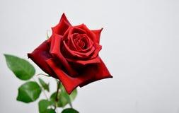 Um blackground branco vermelho da rosa Foto de Stock