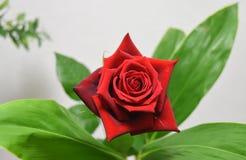 Um blackground branco vermelho da rosa do macro e folha verde imagens de stock royalty free