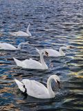 Um bloco das cisnes Imagem de Stock Royalty Free