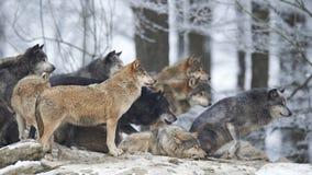 Um bloco dos lobos Foto de Stock