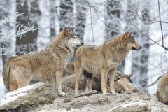 Um bloco dos lobos fotografia de stock