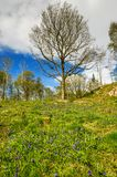 Um blubell cobriu a inclinação em Cumbria em uma manhã da mola com um fundo das árvores Fotografia de Stock Royalty Free