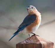 Um bluebird muito orgulhoso. Fotos de Stock