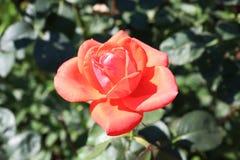 Um bonito aumentou no jardim dianteiro floresceu no arbusto Fotografia de Stock Royalty Free