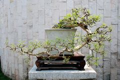 Um bonsai antes da parede imagem de stock