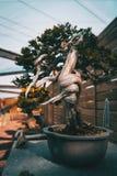 Um bonsai com um tronco torcido em uma exposição fotografia de stock