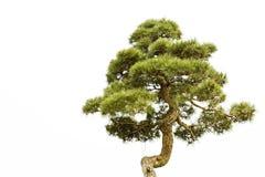 Um bonsai do banyan imagens de stock royalty free
