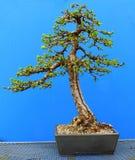 Um bonsai japonês ereto informal do larício durante o processo de desenvolvimento por um entusiasta de Irlanda do Norte fotografia de stock royalty free