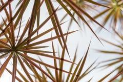 Um bosque da planta tropical Madagáscar Dragon Tree - vista ascendente imagens de stock