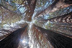 Um bosque da sequoia escultural foto de stock