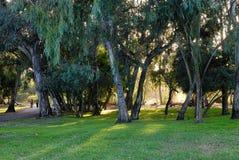 Um bosque do eucalipto em Central Park fotografia de stock royalty free