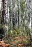 Um bosque do vidoeiro em um dia de verão imagens de stock royalty free