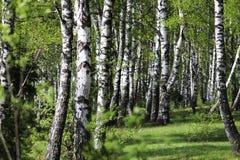 Um bosque do vidoeiro, uma floresta na luz solar na manhã Pneus do vidoeiro no verão Imagens de Stock
