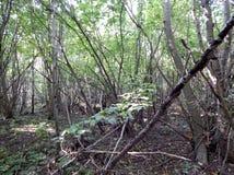 Um bosque que consiste em álamos novos imagens de stock