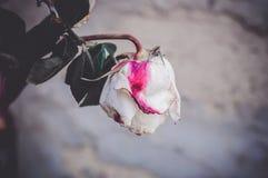 Um botão da rosa branca murcho inoperante com ponto cor-de-rosa fotografia de stock royalty free