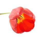 Um botão da tulipa Imagem de Stock Royalty Free