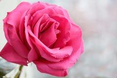 Um botão de um rosa macio aumentou em um fundo borrado imagens de stock royalty free