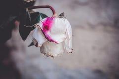 Um bot?o da rosa branca murcho inoperante com ponto cor-de-rosa fotos de stock