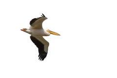 Um branco adulto, branco, grande, branco oriental ou Rosy Pelican, Pel foto de stock