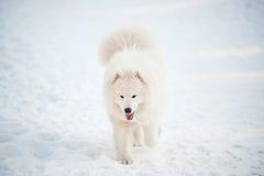 Um branco do cão de Samoed Fotografia de Stock