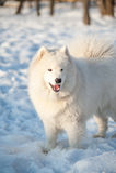 Um branco do cão de Samoed Fotografia de Stock Royalty Free
