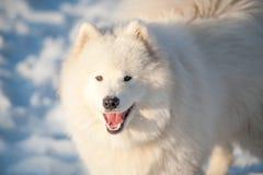 Um branco do cão de Samoed Imagens de Stock Royalty Free