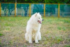 Um branco do cão de Samoed Foto de Stock