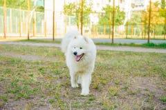 Um branco do cão de Samoed Fotos de Stock Royalty Free