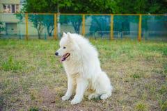 Um branco do cão de Samoed Imagens de Stock