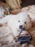 Um branco do cão de Samoed Foto de Stock Royalty Free