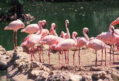 Um brilho dos flamingos foto de stock royalty free