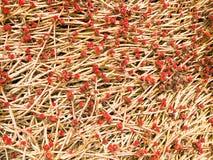 Um broto vermelho novo com uma gota de orvalho do gotejamento está na natureza à terra, flor da planta carnuda do close-up imagem de stock